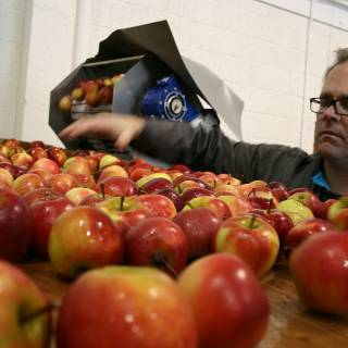 Daniel of Stonewell Cider manually sorting apples to make Irish craft cider the traditional way